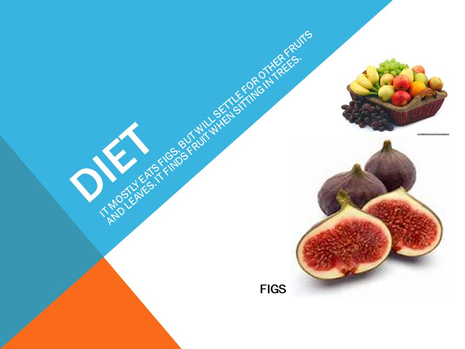DIET IT MOSTLY EATS FIGS, BUT WILL SETTLE FOR OTHER FRUITS AND LEAVES. IT FINDS FRUIT WHEN SITTING IN TREES.