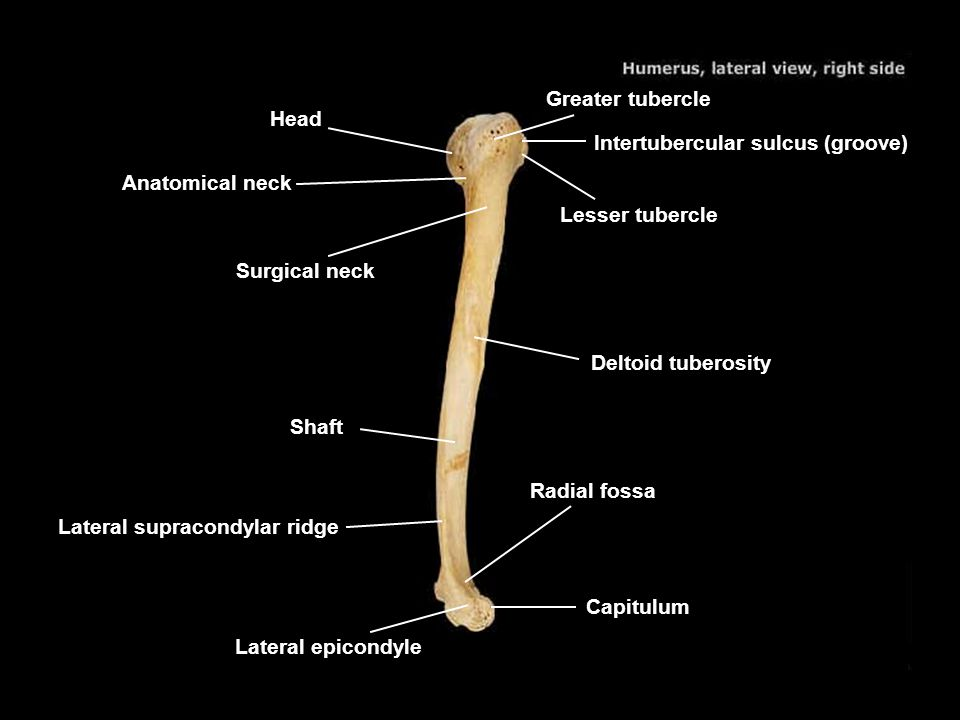 Greater tubercle Head. Intertubercular sulcus (groove) Anatomical neck. Lesser tubercle. Surgical neck.