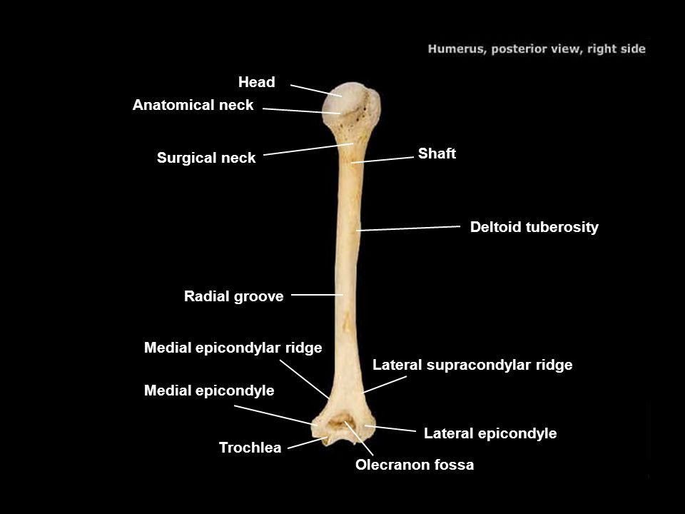 Head Anatomical neck. Surgical neck. Shaft. Deltoid tuberosity. Radial groove. Medial epicondylar ridge.