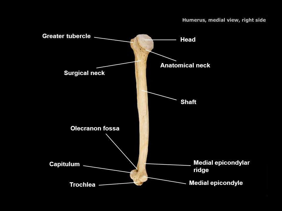 Greater tubercle Head. Anatomical neck. Surgical neck. Shaft. Olecranon fossa. Capitulum. Medial epicondylar ridge.