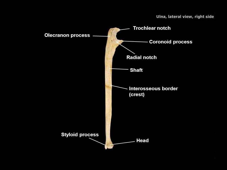 Trochlear notch Olecranon process. Coronoid process. Radial notch. Shaft. Interosseous border (crest)