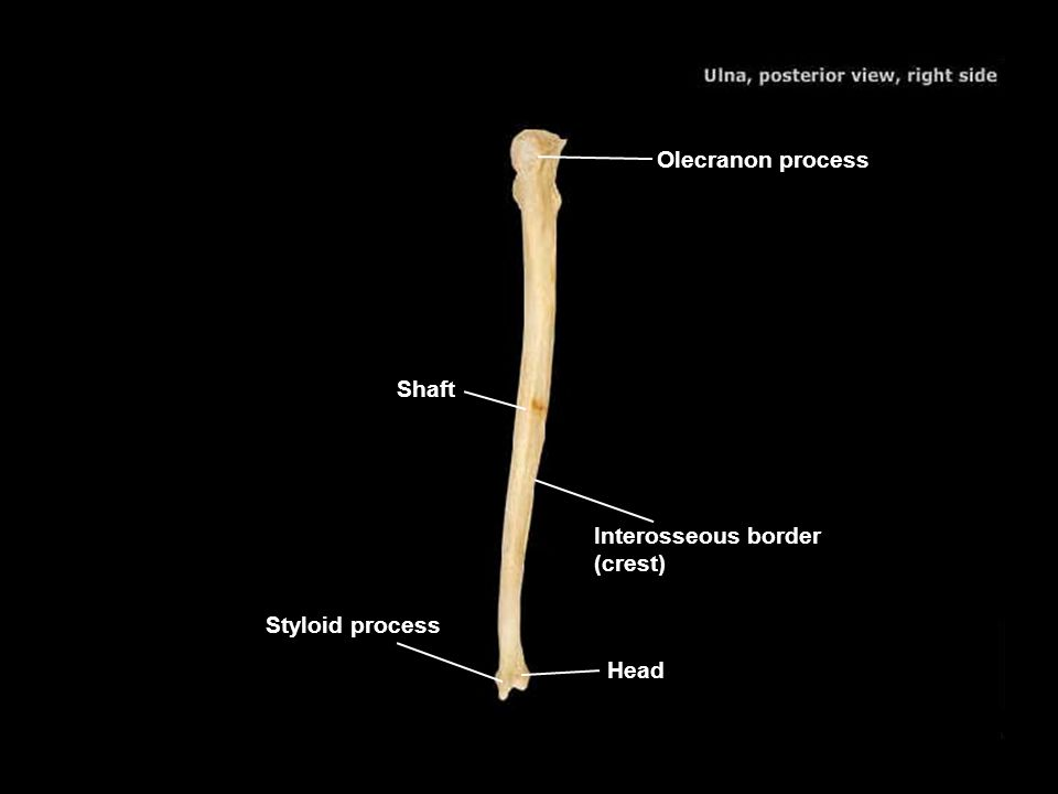 Olecranon process Shaft Interosseous border (crest) Styloid process Head