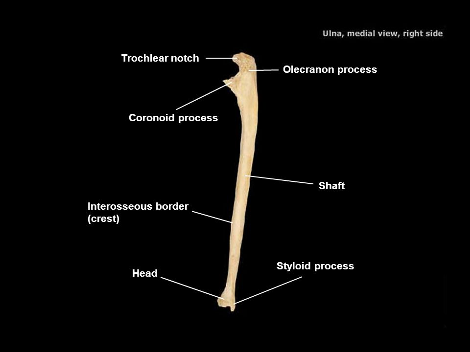 Trochlear notch Olecranon process. Coronoid process. Shaft. Interosseous border (crest) Styloid process.