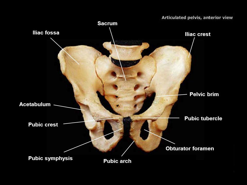 Sacrum Iliac fossa. Iliac crest. Pelvic brim. Acetabulum. Pubic tubercle. Pubic crest. Obturator foramen.