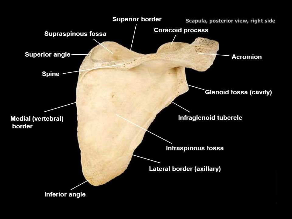 coracoid process acromion suprascapular notch superior border, Human Body