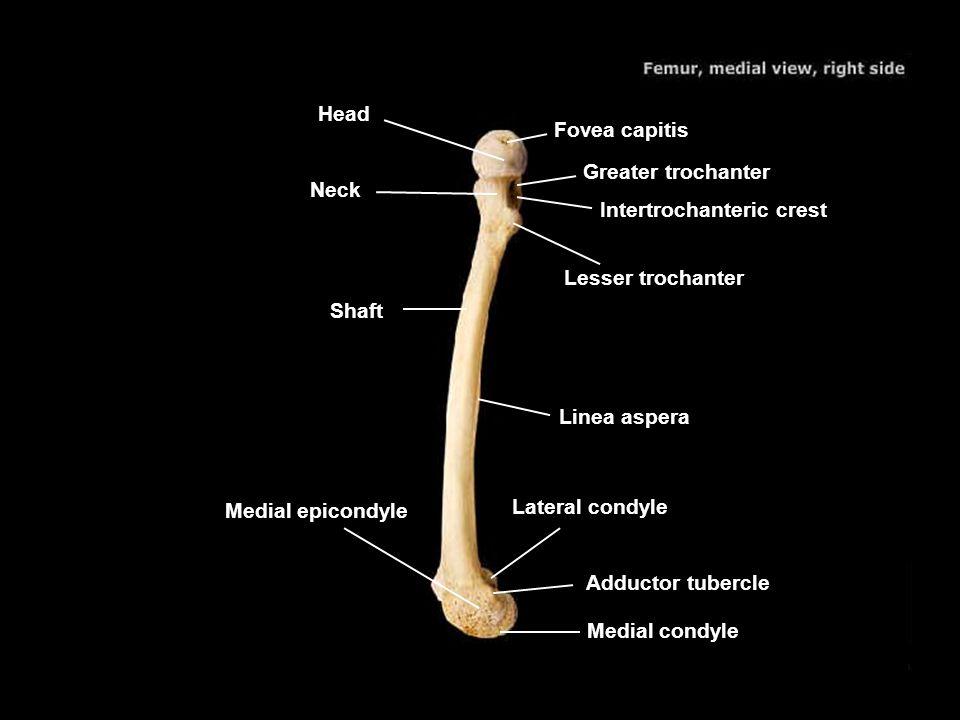 Head Fovea capitis. Greater trochanter. Neck. Intertrochanteric crest. Lesser trochanter. Shaft.