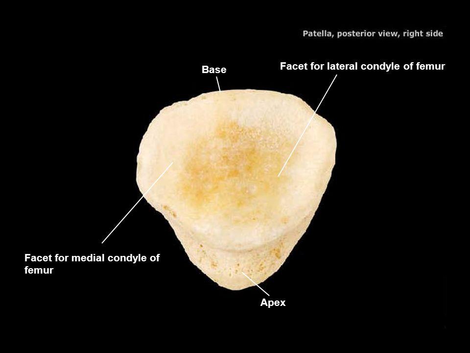 Base Facet for lateral condyle of femur Facet for medial condyle of femur Apex