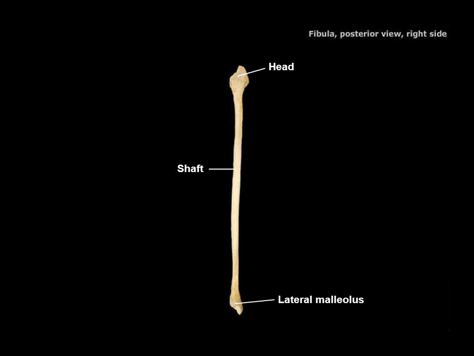 Head Shaft Lateral malleolus