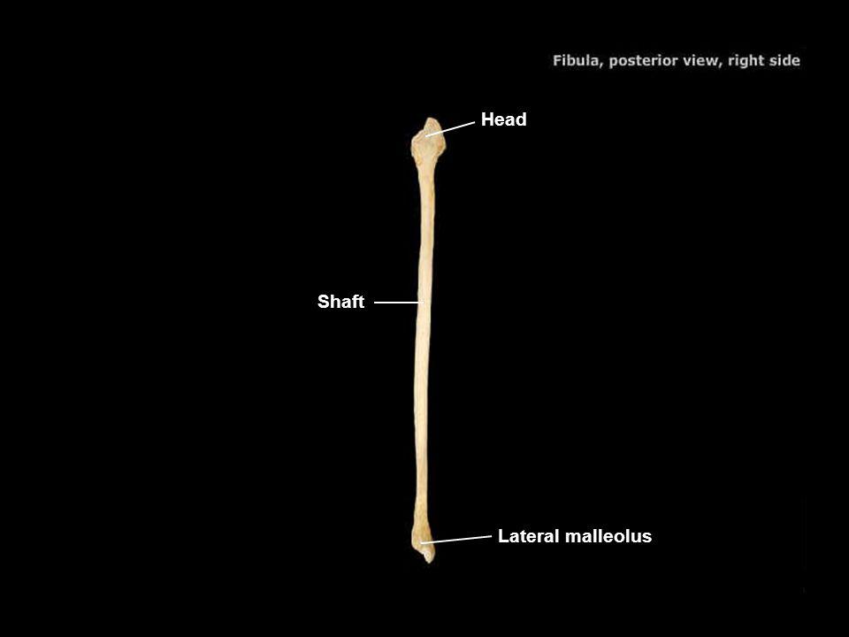 Head Shaft Lateral malleolus