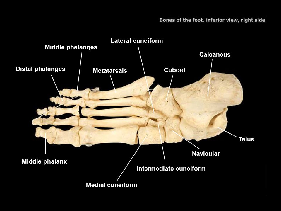 Lateral cuneiform Middle phalanges. Calcaneus. Distal phalanges. Metatarsals. Cuboid. Talus. Navicular.