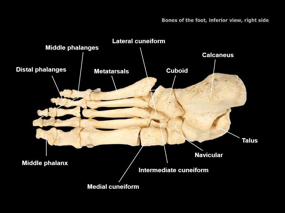 Lateral cuneiform Middle phalanges. Calcaneus. Distal phalanges. Metatarsals. Cuboid. Talus. Navicular.