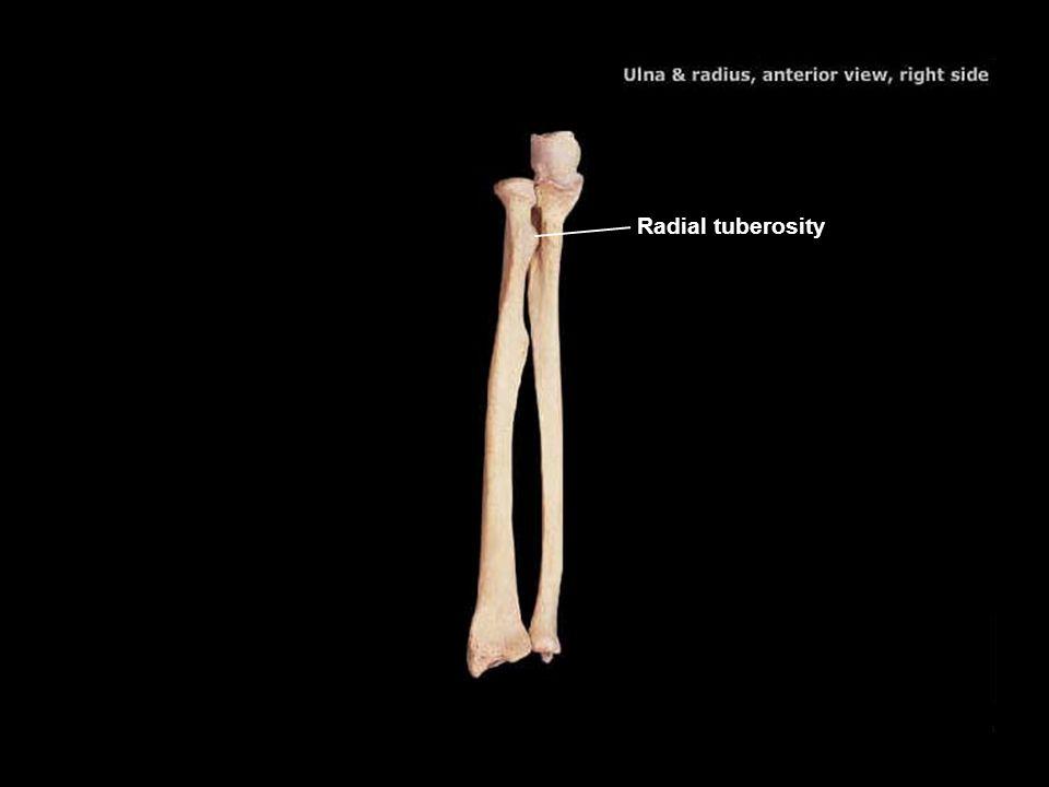 Radial tuberosity 46