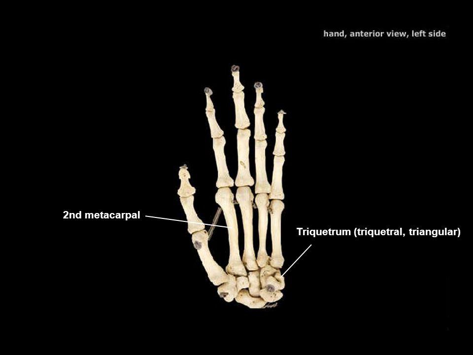 Triquetrum (triquetral, triangular)