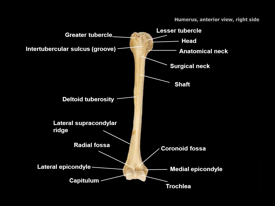 Lesser tubercle Greater tubercle. Head. Intertubercular sulcus (groove) Anatomical neck. Surgical neck.