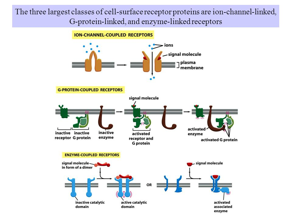 G-protein-linked, and enzyme-linked receptors