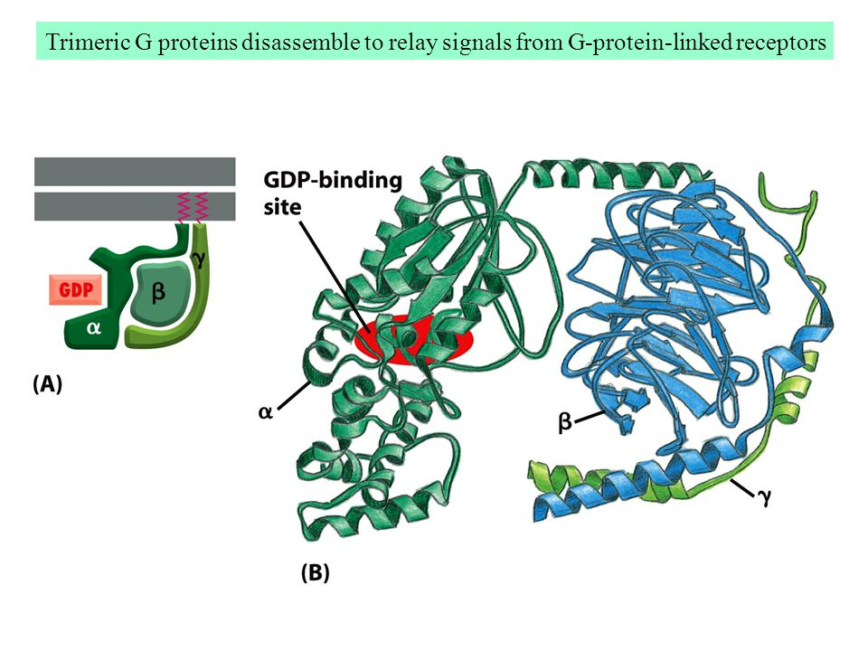 Trimeric G proteins disassemble to relay signals from G-protein-linked receptors