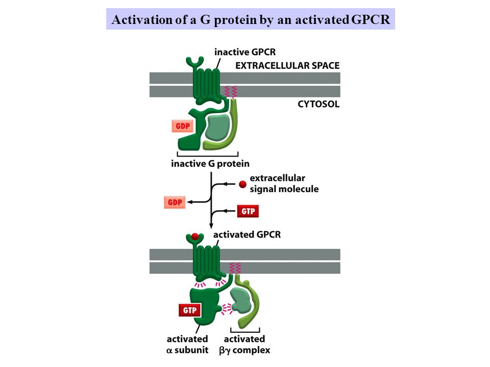 Activation of a G protein by an activated GPCR