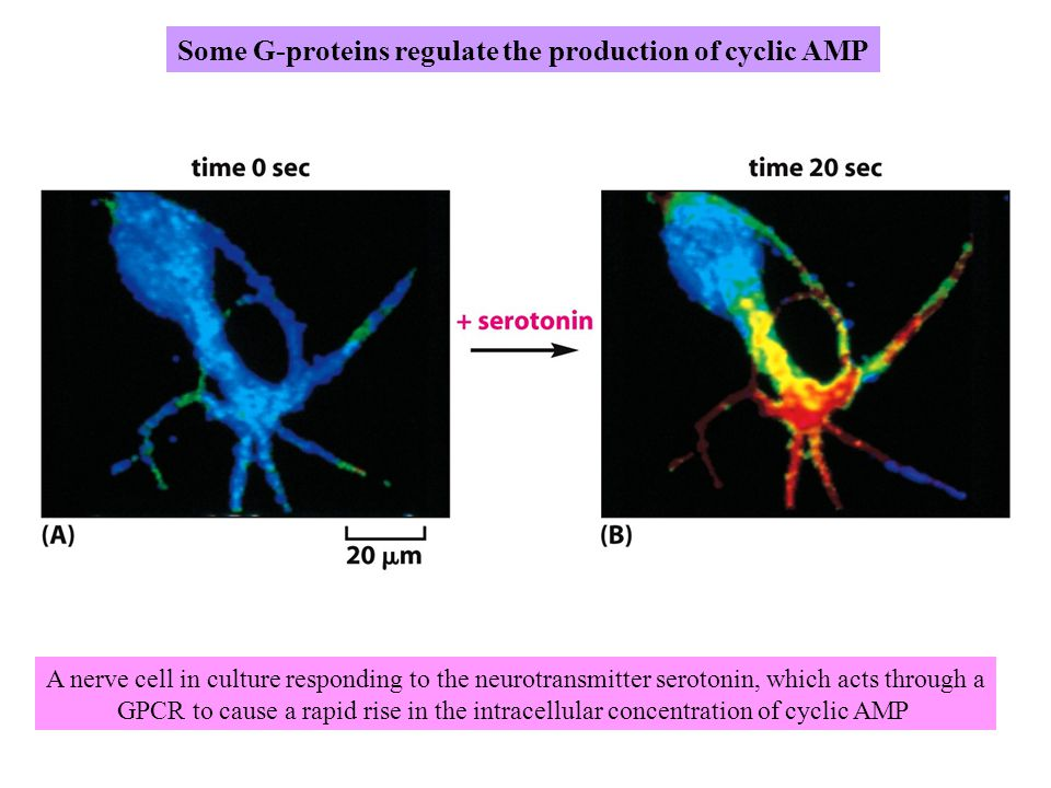 Some G-proteins regulate the production of cyclic AMP