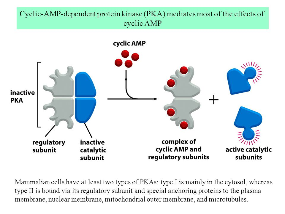 Cyclic-AMP-dependent protein kinase (PKA) mediates most of the effects of