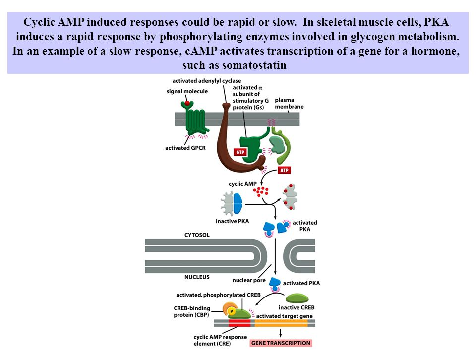 Cyclic AMP induced responses could be rapid or slow