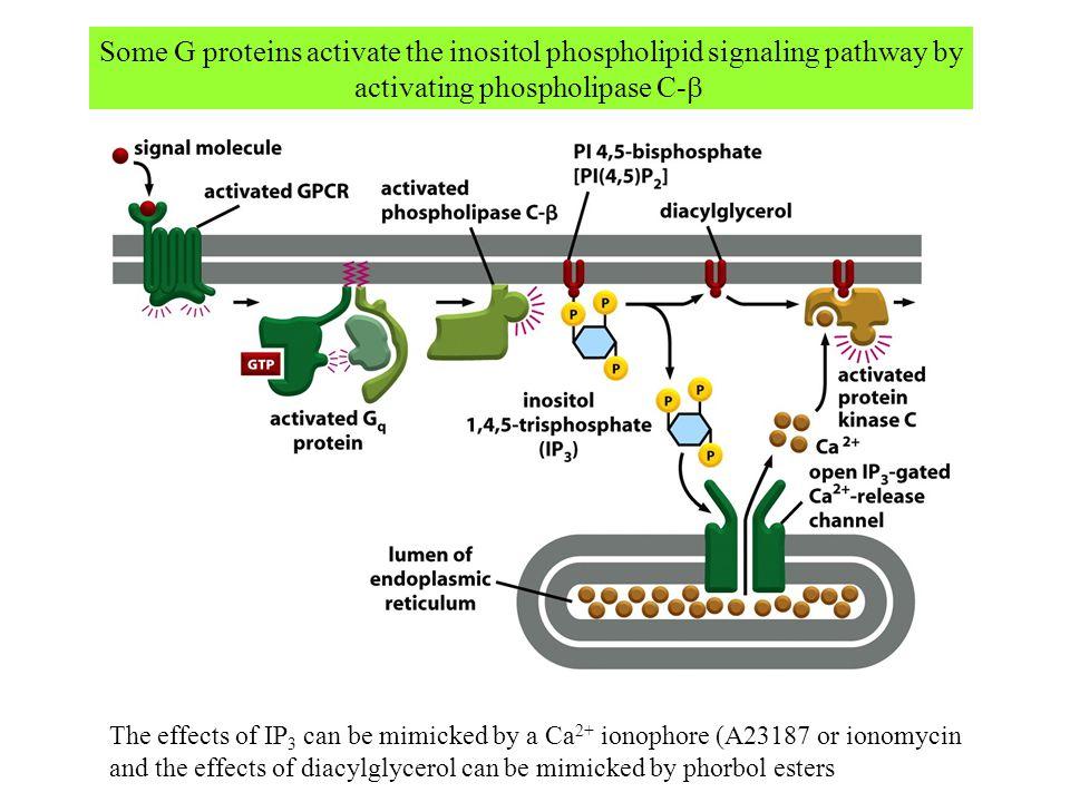 activating phospholipase C-b