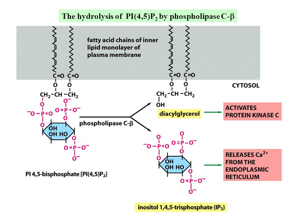 The hydrolysis of PI(4,5)P2 by phospholipase C-b