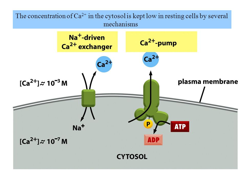 The concentration of Ca2+ in the cytosol is kept low in resting cells by several