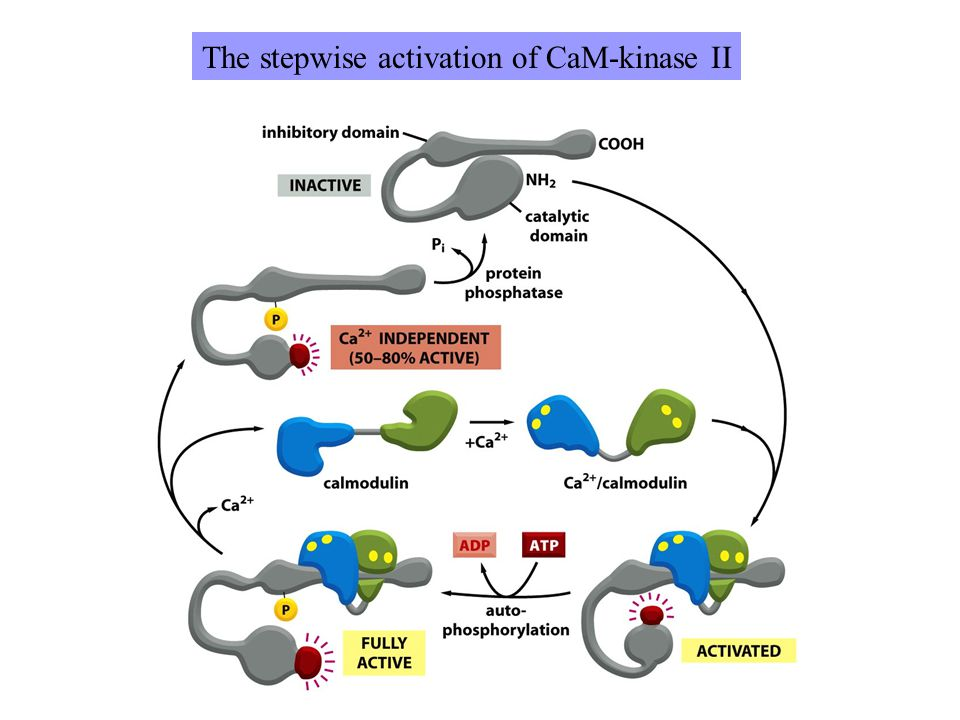 The stepwise activation of CaM-kinase II
