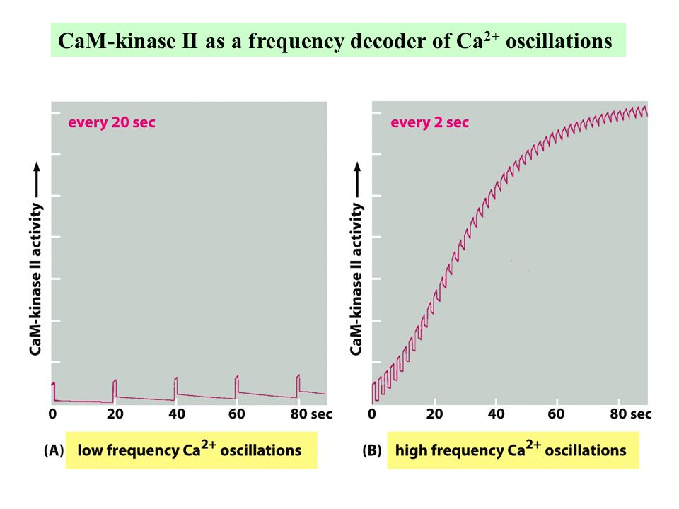 CaM-kinase II as a frequency decoder of Ca2+ oscillations