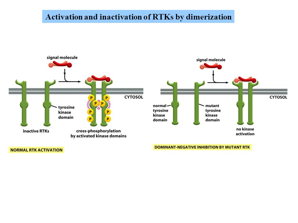 Activation and inactivation of RTKs by dimerization