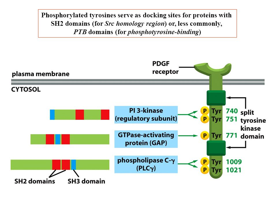 Phosphorylated tyrosines serve as docking sites for proteins with