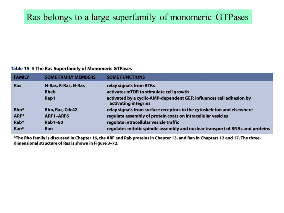 Ras belongs to a large superfamily of monomeric GTPases
