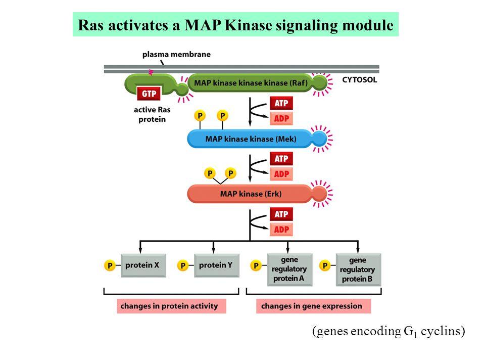 Ras activates a MAP Kinase signaling module