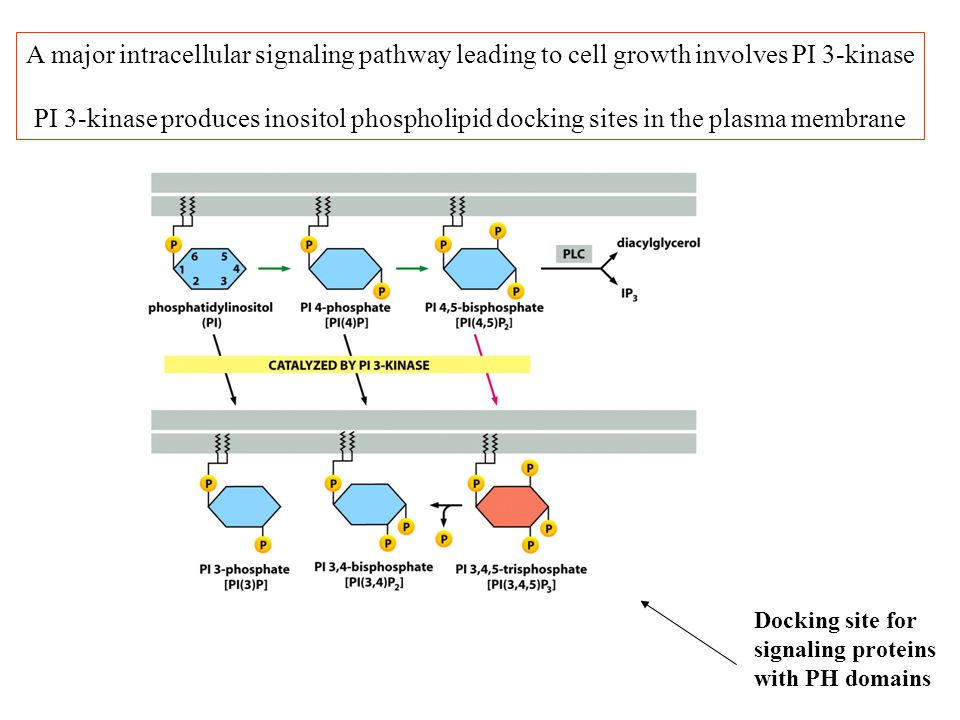 A major intracellular signaling pathway leading to cell growth involves PI 3-kinase