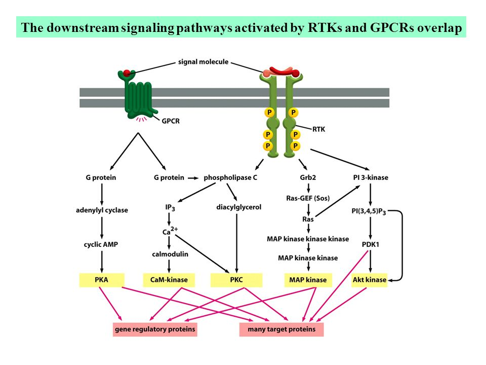 The downstream signaling pathways activated by RTKs and GPCRs overlap