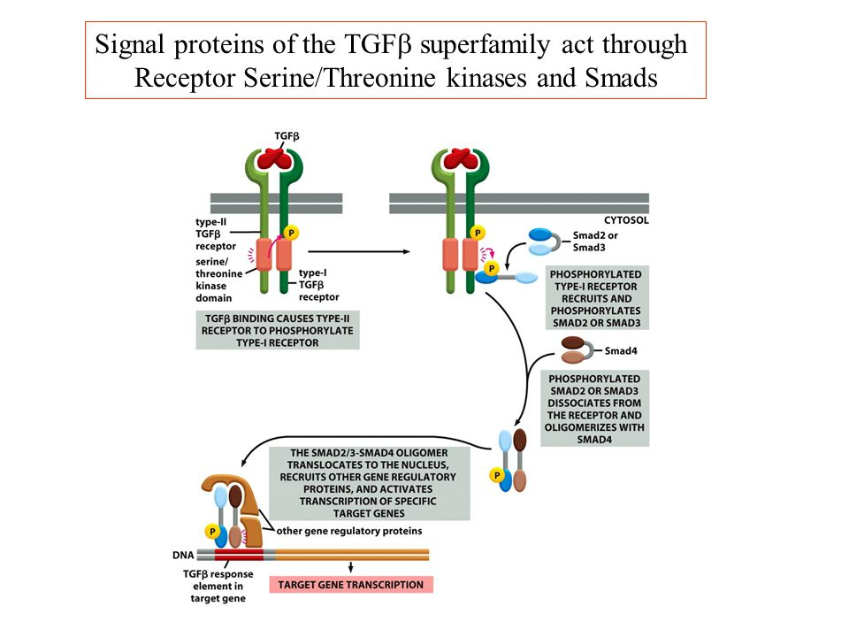 Signal proteins of the TGFb superfamily act through