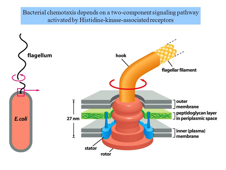 Bacterial chemotaxis depends on a two-component signaling pathway