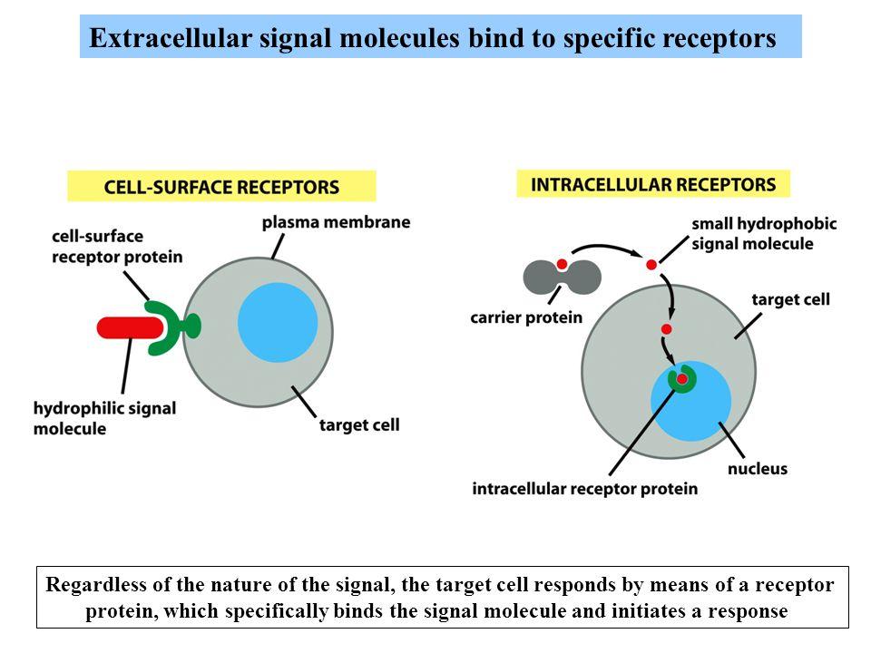 Extracellular signal molecules bind to specific receptors