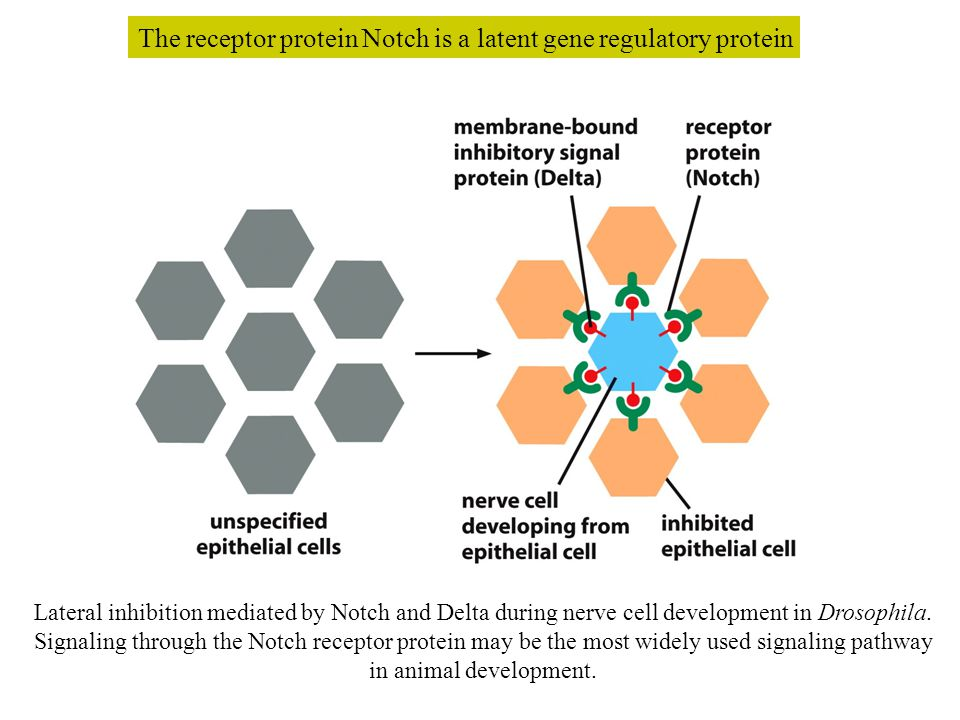 The receptor protein Notch is a latent gene regulatory protein