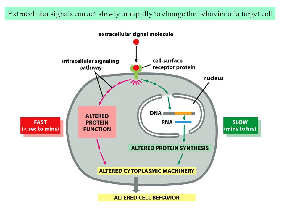 Extracellular signals can act slowly or rapidly to change the behavior of a target cell