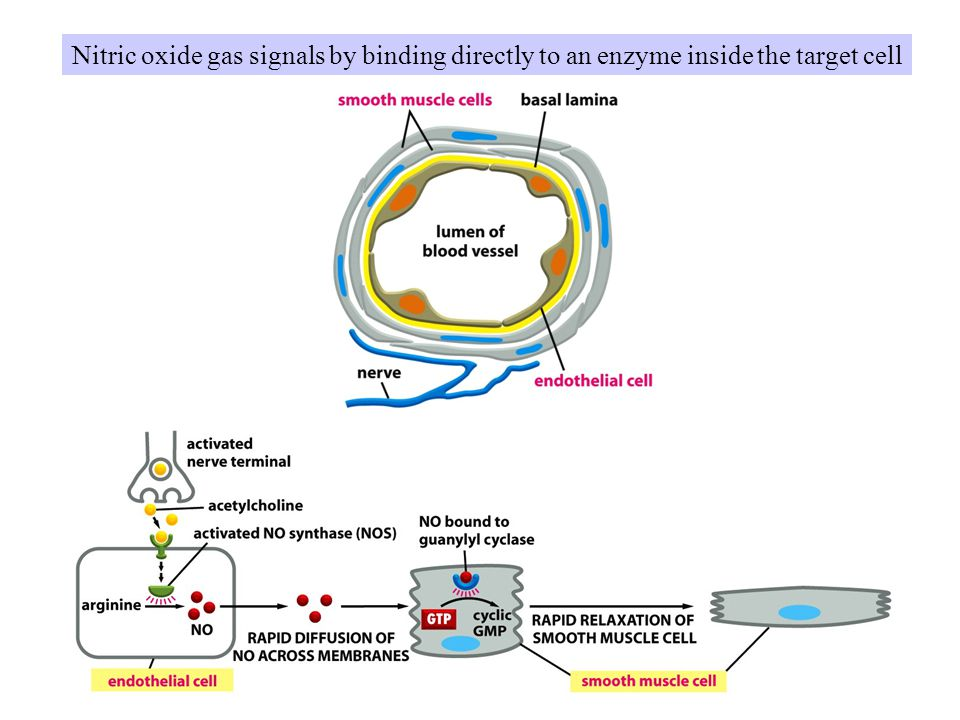 Nitric oxide gas signals by binding directly to an enzyme inside the target cell