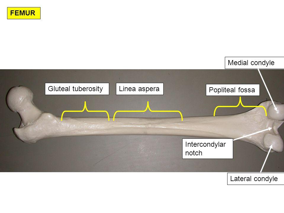 FEMUR Medial condyle. Gluteal tuberosity. Linea aspera.