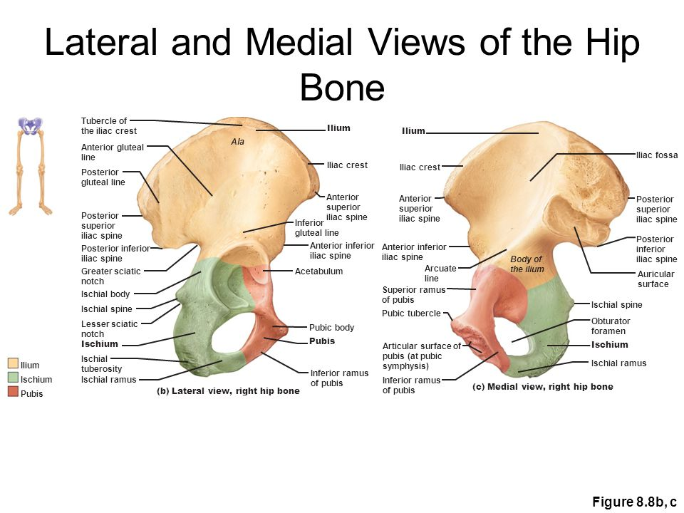 Lateral and Medial Views of the Hip Bone