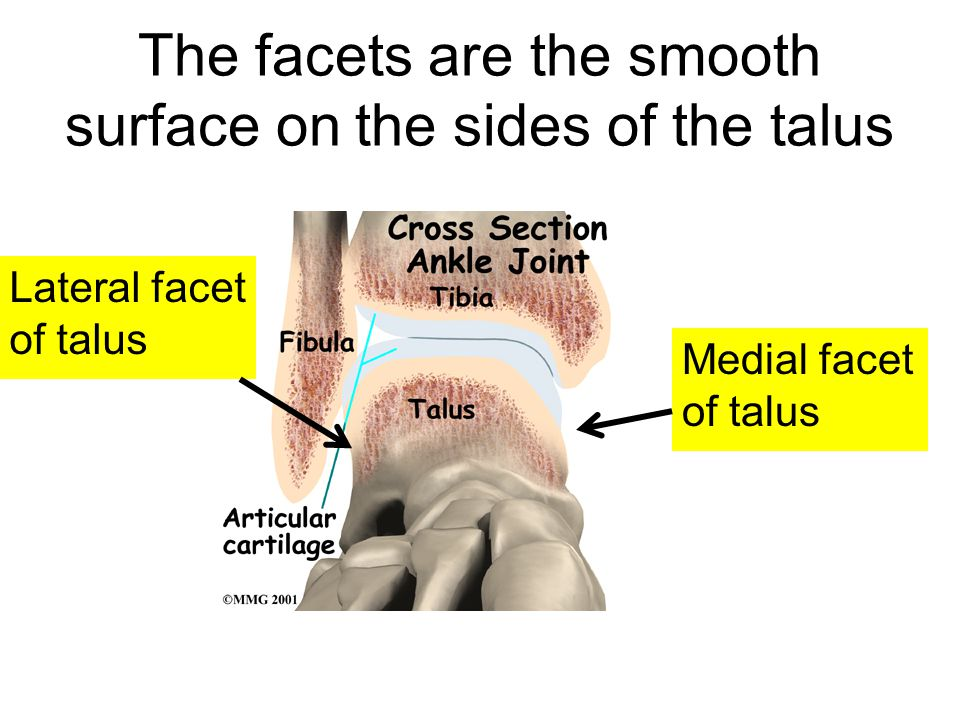 The facets are the smooth surface on the sides of the talus