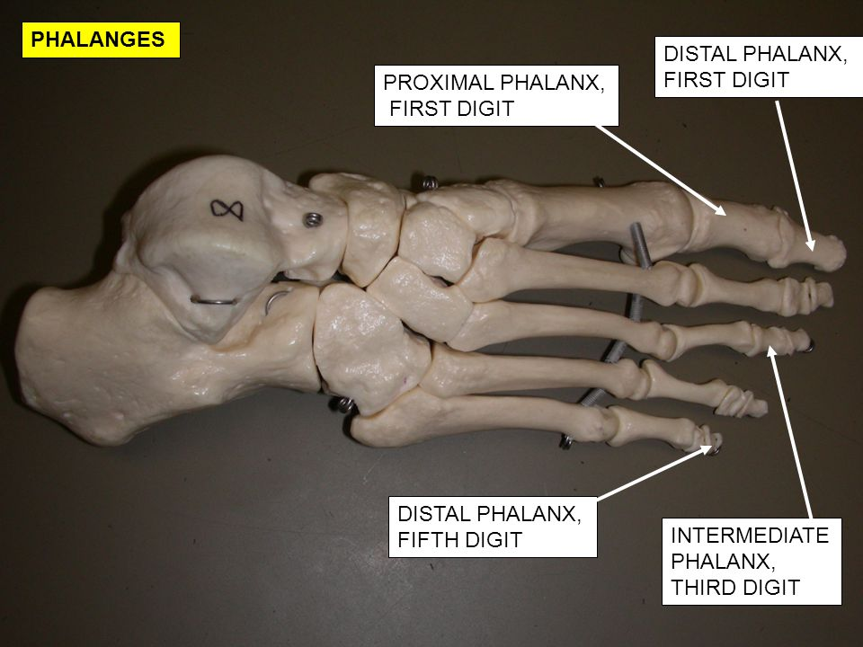 PHALANGES DISTAL PHALANX, FIRST DIGIT. PROXIMAL PHALANX, FIRST DIGIT. DISTAL PHALANX, FIFTH DIGIT.