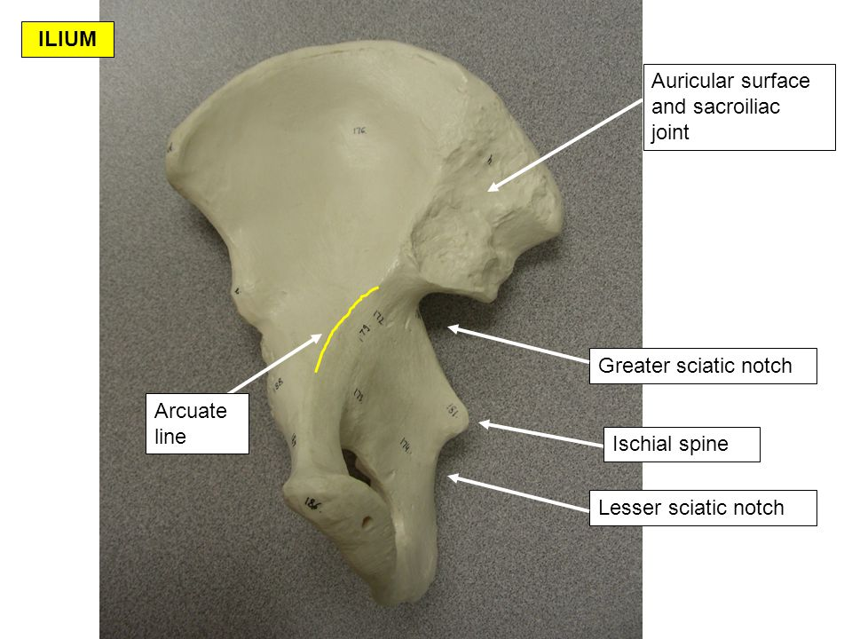 ILIUM Auricular surface and sacroiliac joint. Greater sciatic notch. Arcuate line. Ischial spine.