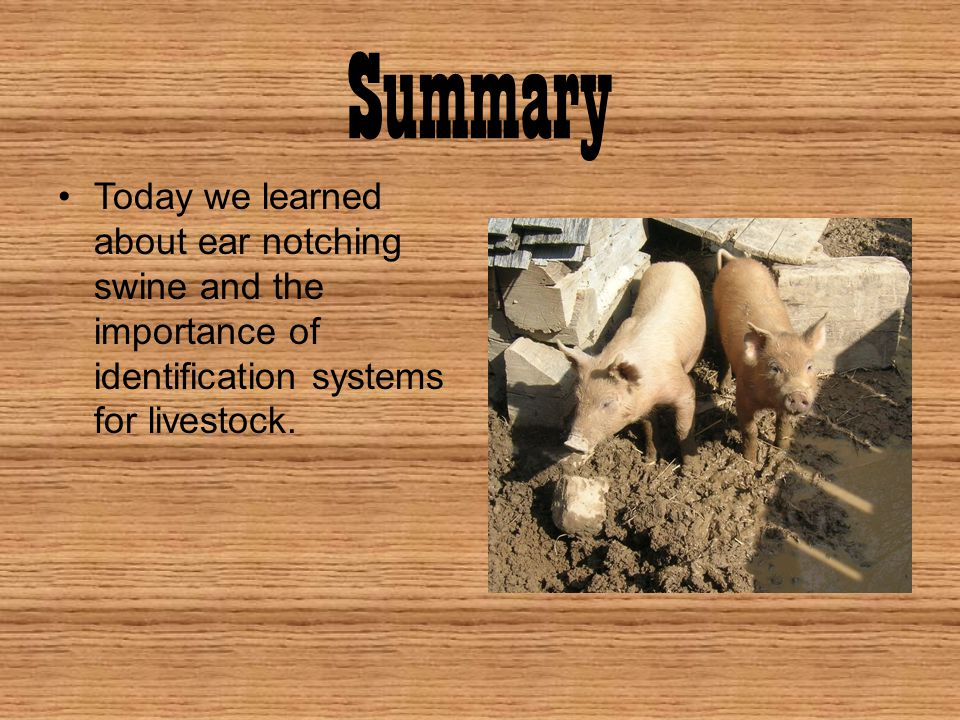 Summary Today we learned about ear notching swine and the importance of identification systems for livestock.