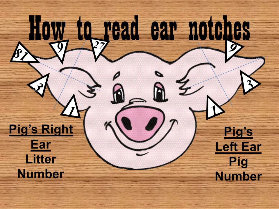 How to read ear notches 9 9 81 3 3 1 1 Pig's Right Ear Pig's Left Ear