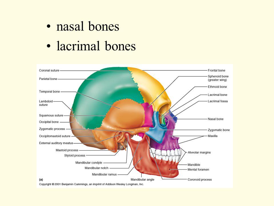 nasal bones lacrimal bones