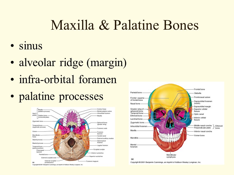 Maxilla & Palatine Bones
